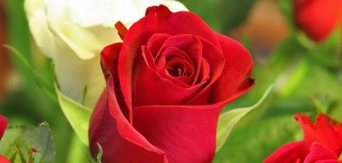 Tips para el cuidado de las rosas y rosales