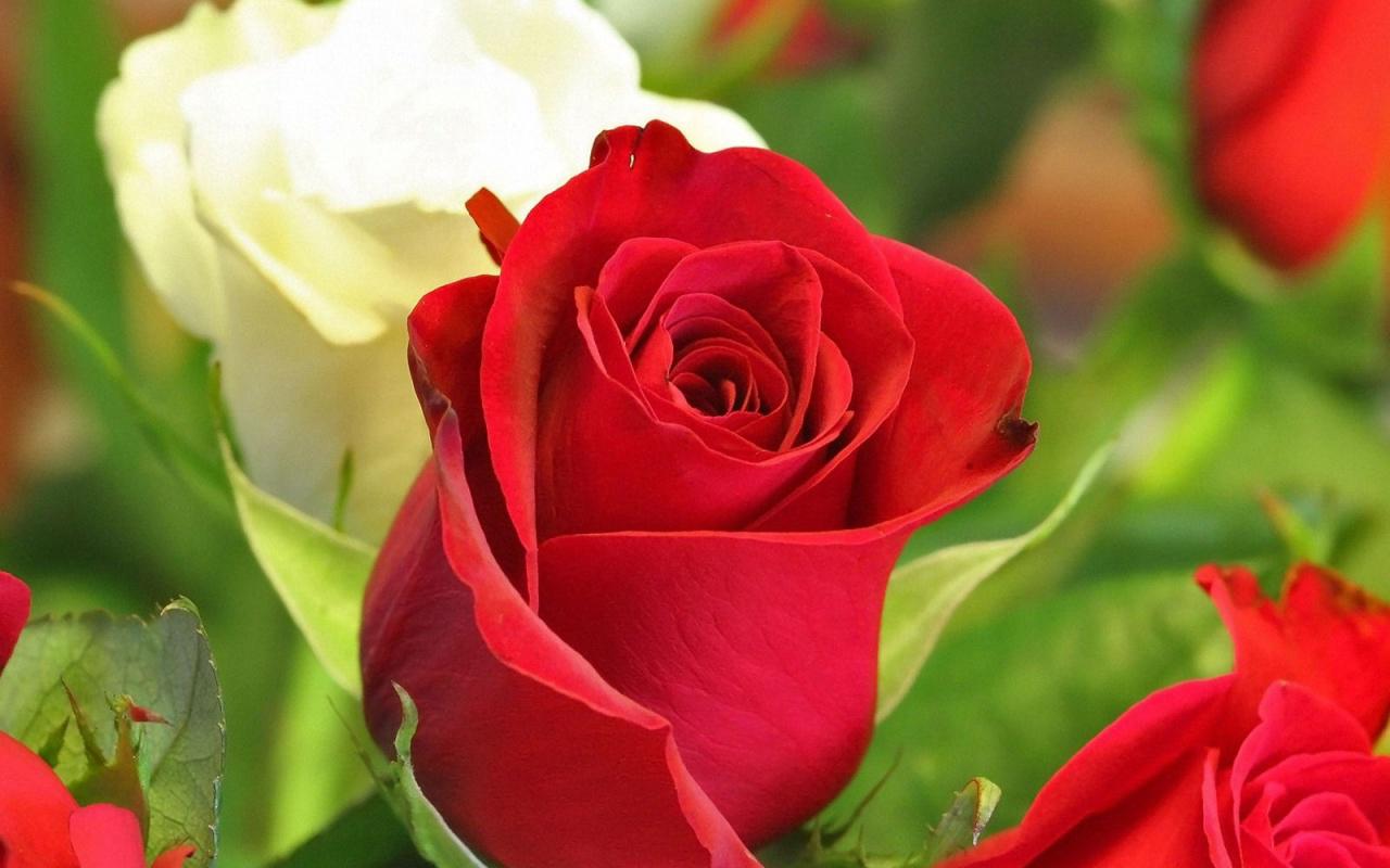 Tips para el cuidado de las rosas y rosales vivero flora for Viveros el rosal