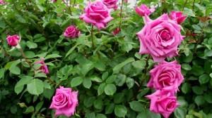 jardin-ecologico-flora-vitae-vivero-costa-rica-rosas-03