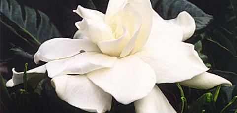 Cómo cultivar gardenias en macetas