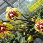 vivero-costa-rica-orquideas-10