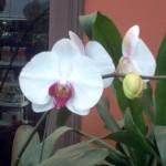 vivero-costa-rica-orquideas-14