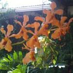 vivero-costa-rica-orquideas-16