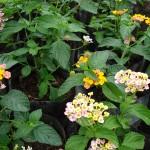 vivero-costa-rica-plantas-48