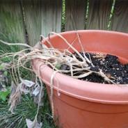 El exceso de agua en las plantas